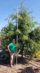 Quercus palustris лето
