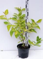Дерен белый Ауреа высота растения 50см