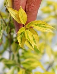 Форзиция промежуточная Голден Таймс (окраска листьев)