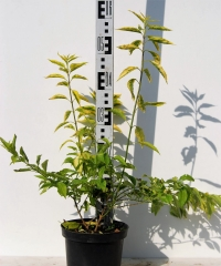 Форзиция промежуточная Голден Таймс высота растения 55см