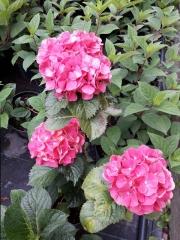 Гортензия крупнолистная Сибилла (цветы)