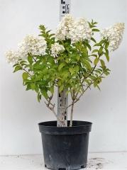 Гортензия метельчатая Бобо высота растения 50см
