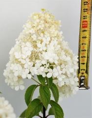 Гортензия метельчатая Бобо (соцветие)