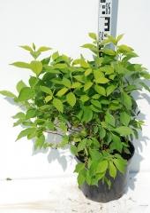 Чубушник венечный Ауреус высота растения 45см