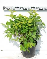 Чубушник венечный Ауреус диаметр растения 50см