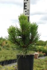 Pinus leucodermis Compact Gem контейнерная площадка