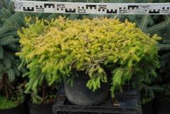 Picea abies Vermont Gold контейнерная площадка