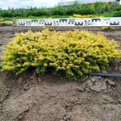 Picea Vermont Gold в питомнике