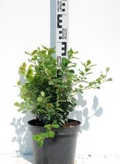Спирея березолистная Тор высота растения 30см