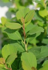 Спирея березолистная Тор (листья)