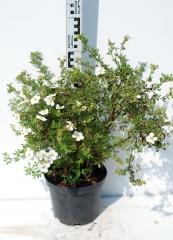 Лапчатка кустарниковая Абботсвуд высота растения 40см