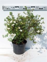Лапчатка кустарниковая Абботсвуд диаметр растения 50см