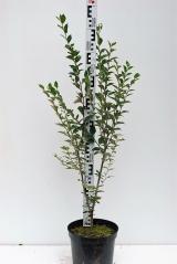Кизильник блестящий высота растения 90см