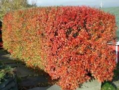 Кизильник блестящий живоплот осенью