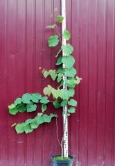 Церцис канадский/Иудино дерево в садовом центре