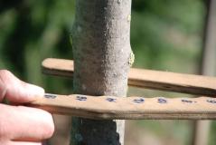 Ясень обыкновенный 2,8м в питомнике