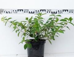 Гортензия метельчатая Даймонд Руж диаметр растения 60см