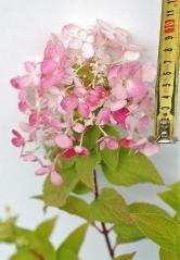 Гортензия метельчатая Даймонд Руж (соцветие)