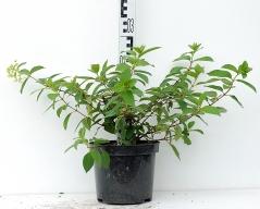 Гортензия метельчатая Даймонд Руж высота растения 30см