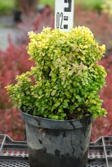 Berberis thunbergii Tiny Gold посадка в горшок