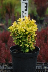 Berberis Golden Rocket ® летом
