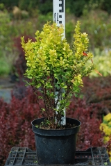 Berberis thun. Golden Rocket саженцы