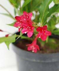 Вейгела гибридная Ред Принц (цветки)