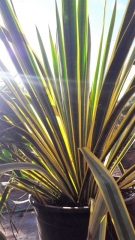 Юкка волокнистая Bright Edge окраска листьев