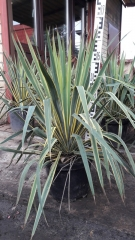 Yucca filamentosa Bright Edge высота растения 60см