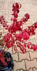 Бруслина крилата Компактус осіннє забарвлення листя