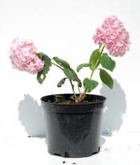 Гортензия крупнолистная Букет Роз контейнер 3л