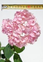 Гортензия крупнолистная Букет Роз (размер соцветия)