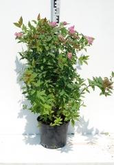Спирея японская Дартс Ред высота растения 70см
