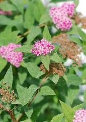 Спирея японская Дартс Ред (цветы)