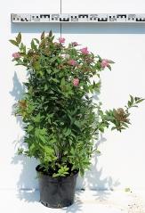 Спирея японская Дартс Ред диаметр растения 50см