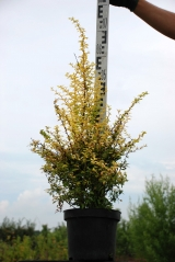 Berberis thunbergii Golden Dream *PBR/®