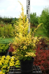 Berberis thunbergii Golden Dream 50-60см