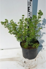 Лапчатка кустарниковая Лавли Пинк высота растения 30см