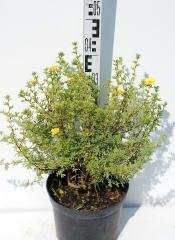 Лапчатка кустарниковая Танжерин высота растения 40см