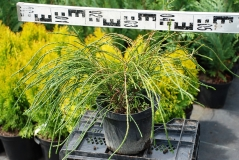 Thuja plicata Whipcord диаметр 0,5м