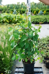 Cercidiphyllum japonicum 60-70см
