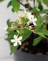 Калина складчатая Ватанабе (цветение)