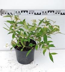 Калина складчатая Ватанабе диаметр растения 45см