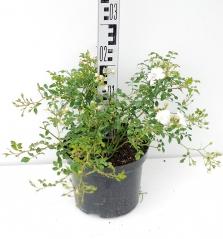 Роза полиантовая Вайт Фейри высота растения 20см