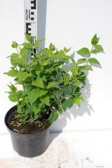 Чубушник гибридный Бель Этуаль высота растения 35см