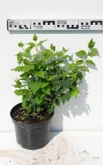 Чубушник гибридный Бель Этуаль диаметр растения 35см
