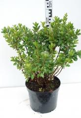 Рододендрон Мадам Галле высота растения 30см