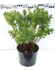 Рододендрон Гейша Оранж диаметр растения 50см
