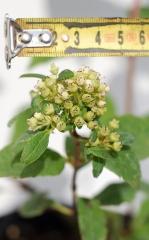 Гортензия метельчатая Вимс Ред (не распустившейся цветки)