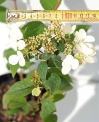 Гортензия метельчатая Вимс Ред (диаметр не распущенного соцветия)